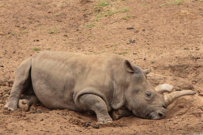 1024px-northern_white_rhino