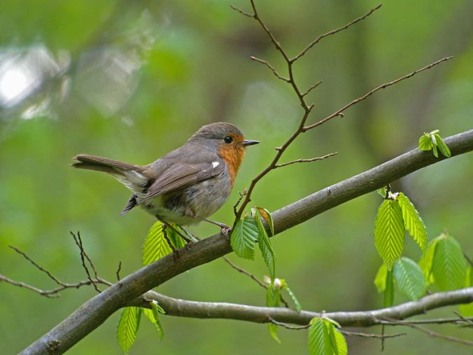 European_Robin_(Erithacus_rubecula),_Białowieża_Forest,_Poland