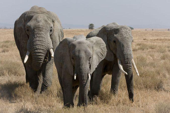 800px-serengeti_elefantenherde2