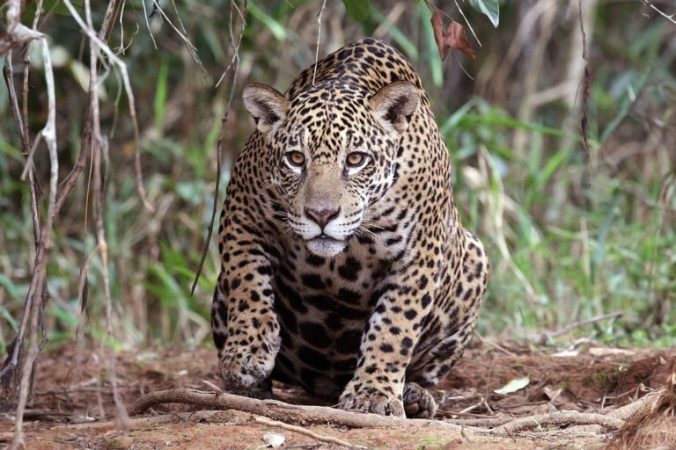 1200px-Jaguar_Panthera_onca_palustris_female_Piquiri_River_2-768x512