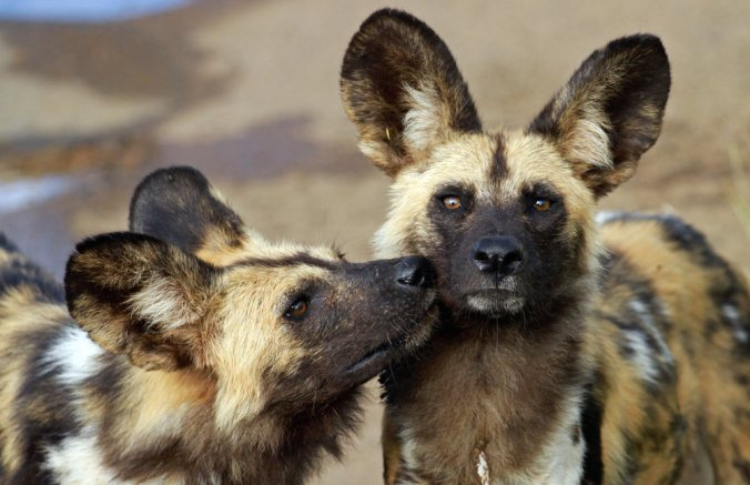 African+wild+dogs+(c)+bayazed_Shutterstock_649070626