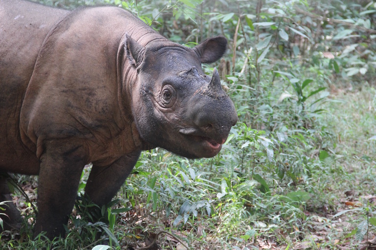MONGABAY – Is anyone going to save the Sumatran rhino?