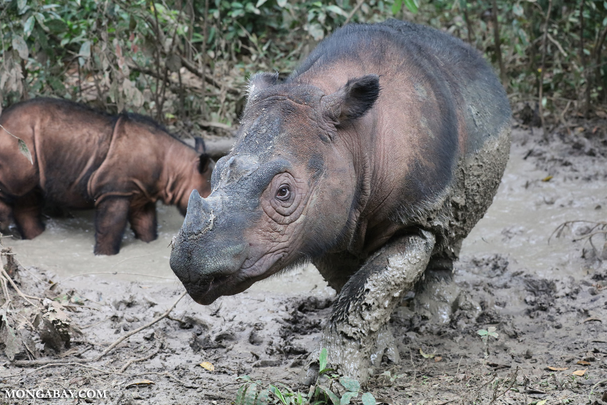 MONGABAY – The fate of the Sumatran rhino is in the Indonesian government's hands