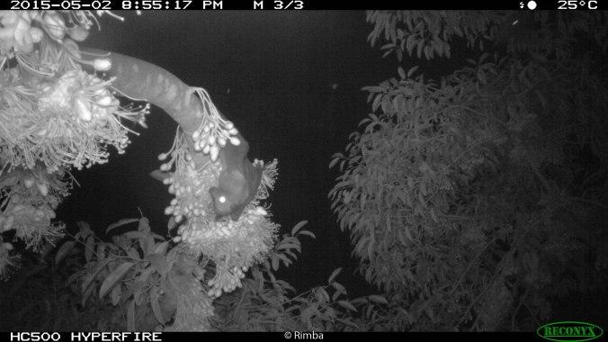 Island Flying Fox in durian tree