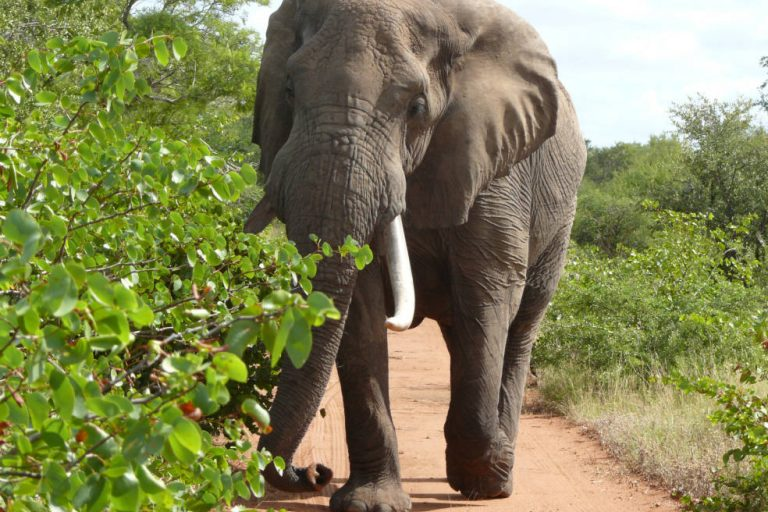 MONGABAY – U.S. court ruling complicates Trump's elephant and lion policy
