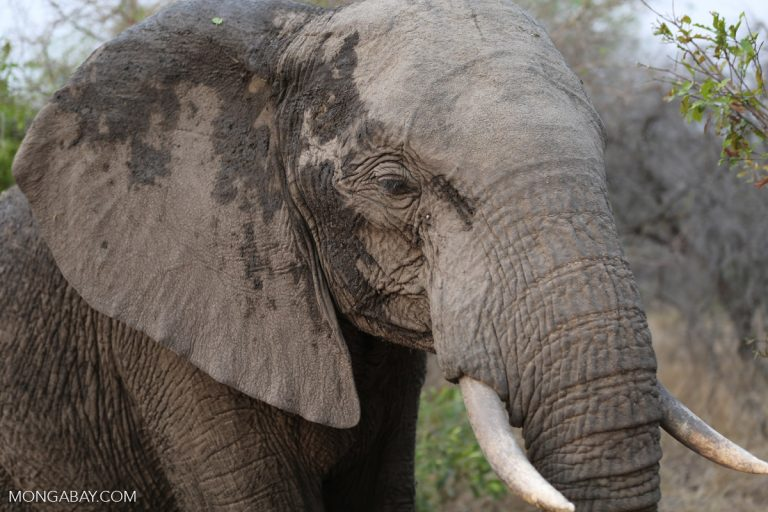 MONGABAY –Trump to allow elephant and lion trophies on case-by-case basis