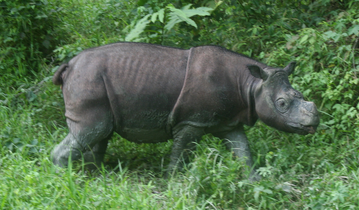 MONGABAY – Geneticists: It's time to mix the Sumatran rhino subspecies