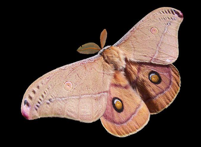800px-Emperor_Gum_Moth