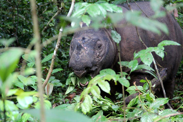 ARAMCOWORLD – The Fragile Songs of the Sumatran Rhinos