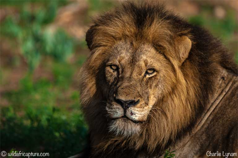 MONGABAY – Another Cecil? Secrecy surrounds June trophy lion hunt