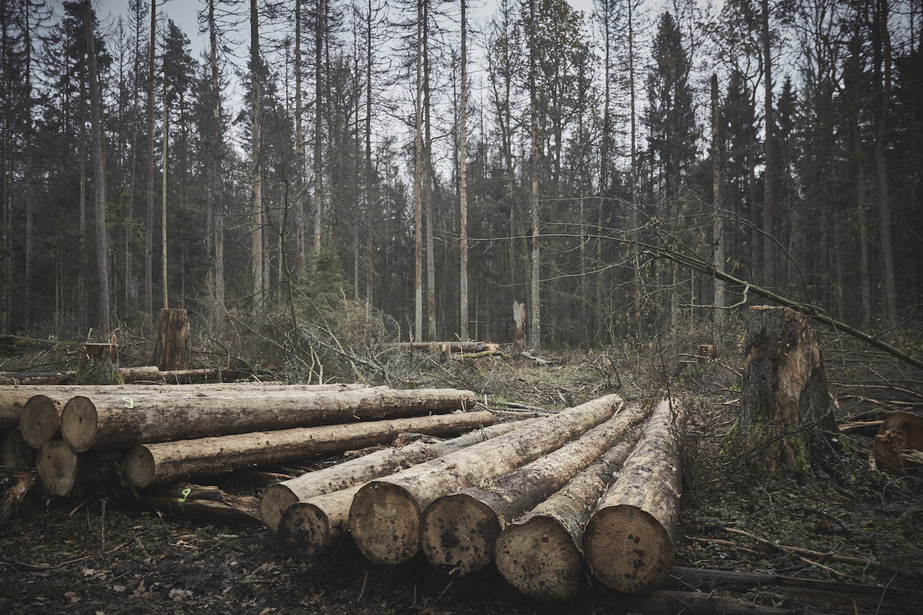 MONGABAY – After logging, activists hope to extend protections for Bialowieza Forest