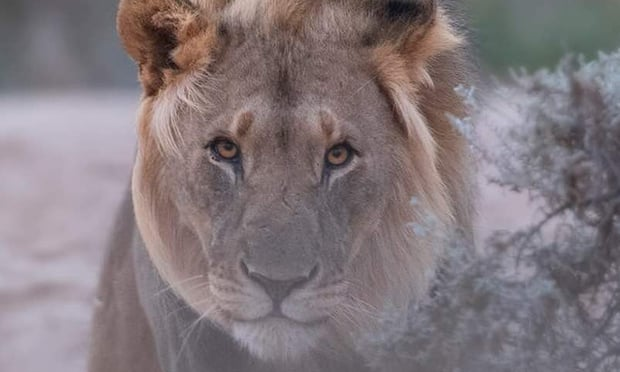 THE GUARDIAN –Can Namibia's desert lions survive humanity?