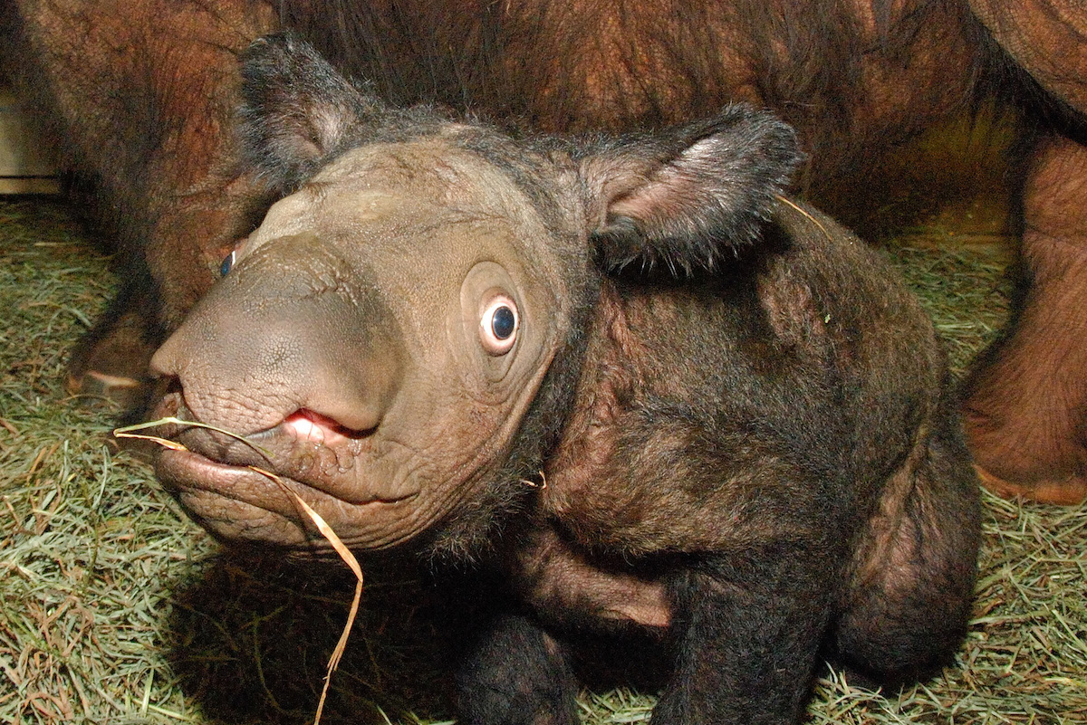 NPR – Saving the Sumatran Rhino