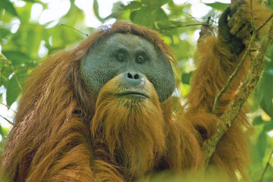 NEW STRAITS TIMES –Great ape or dam?