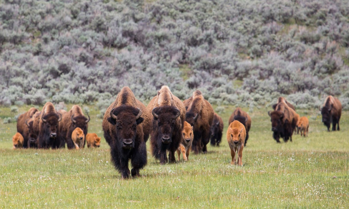 THE GUARDIAN – How Native American tribes are bringing back the bison from brink of extinction