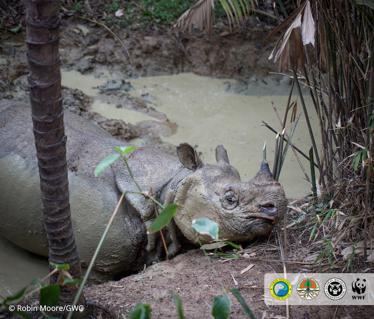 MONGABAY – Jaw-dropping footage: conservationists catch Javan rhino in mud wallow