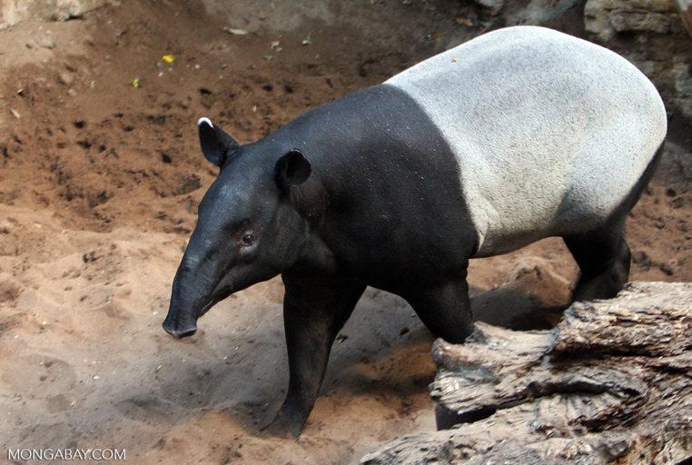 MONGABAY –Bringing the tapir back to Borneo