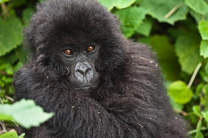 Mountain gorilla CREDIT Liana Joseph