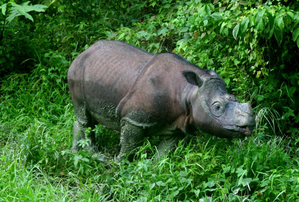 Mongabay – Rare rhino's death should light a fire under Indonesia (commentary)